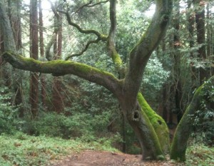 Tree and moss at Joaquin Miller Park, Oakland