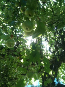 an abundnce of apples hanging off the tree in our backyard