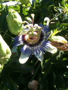 neighborhood passion flower in the late morning San Rafael sun