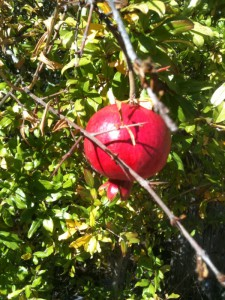 a pomegranate ripening on a neighborhood tree